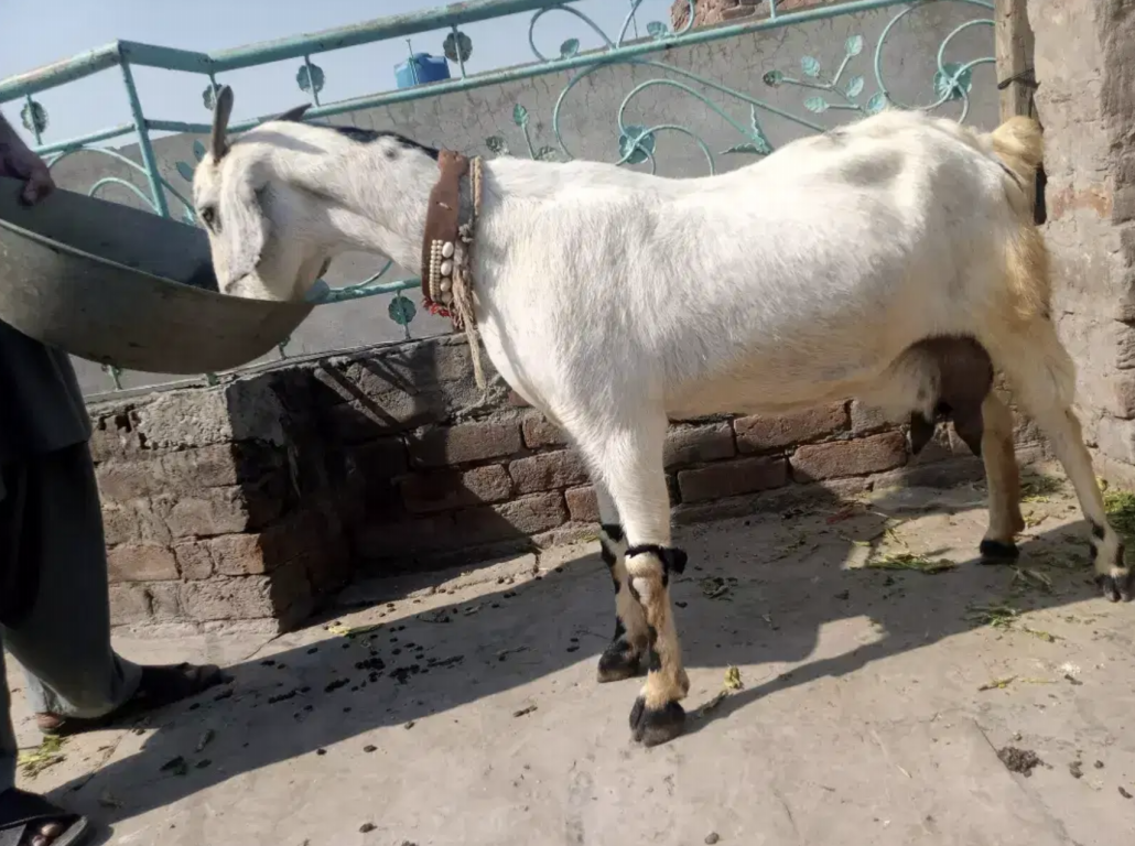 Goat for a Family